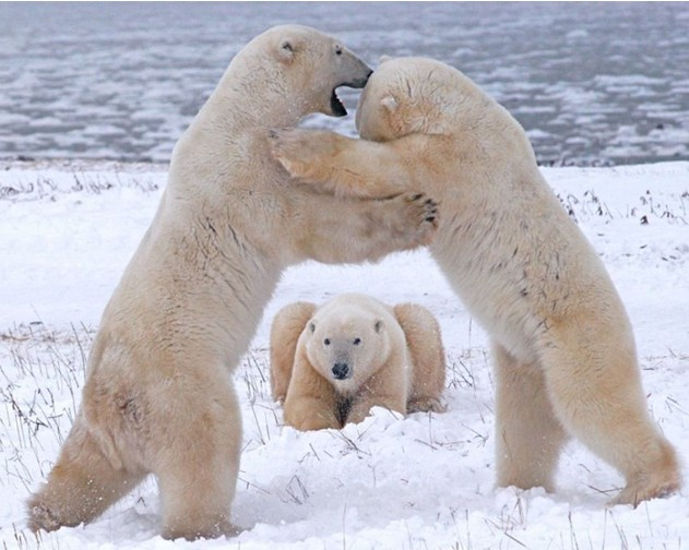 世界首头热带出生的北极熊安乐死,享年27岁