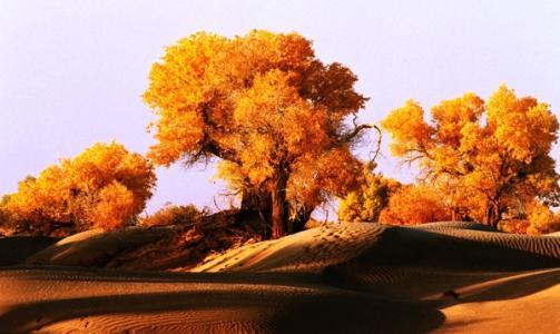 金色胡杨迎来最美季节 吸引大批游