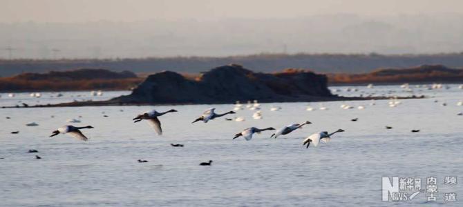 大批南迁候鸟来到内蒙古乌梁素海湿