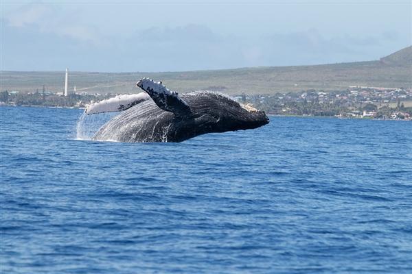 太阳风暴或导致鲸鱼搁浅